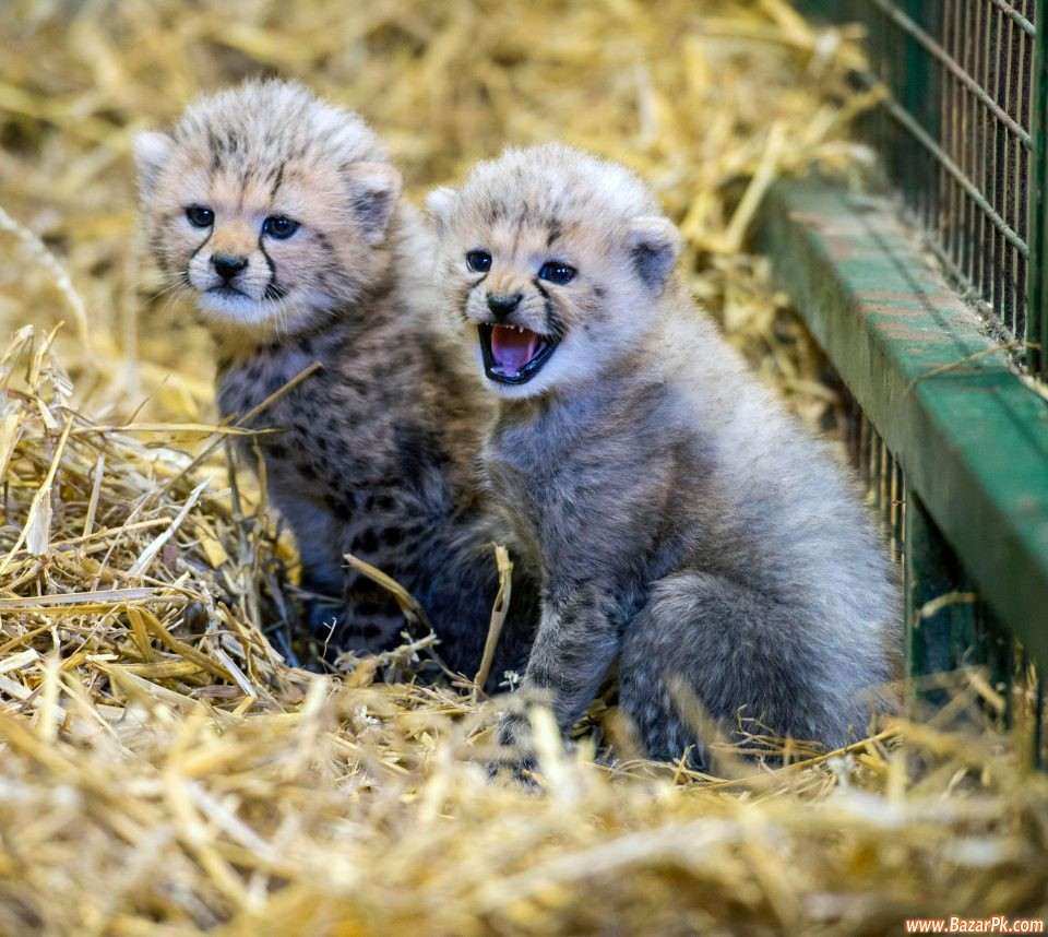 cheetah cubs, lion cubs and tiger cubs for sale animal and pets pets