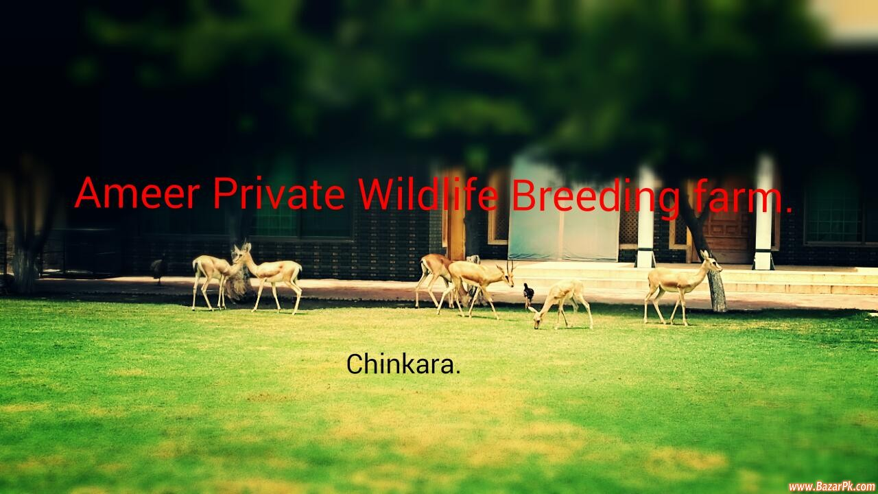 Deers For Sale Animal and Pets Pets Available  : Bazar Pakistan