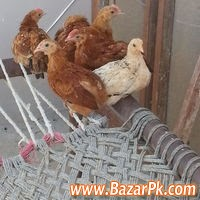 Desi, Golden Misri Chickens Available Animal and Pets Pets