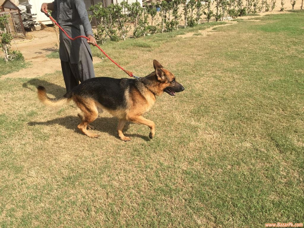 Pure Three German Shepherd Animal and Pets Pets Available