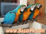 Parrot Chicks,ostrich Chicks For Sale