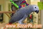 Tame, Healthy Parrots, African Grey, Cokatoos, And Fertile Eggs For Sale